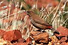 Painted Finch ~ The young one by Robert Elliott