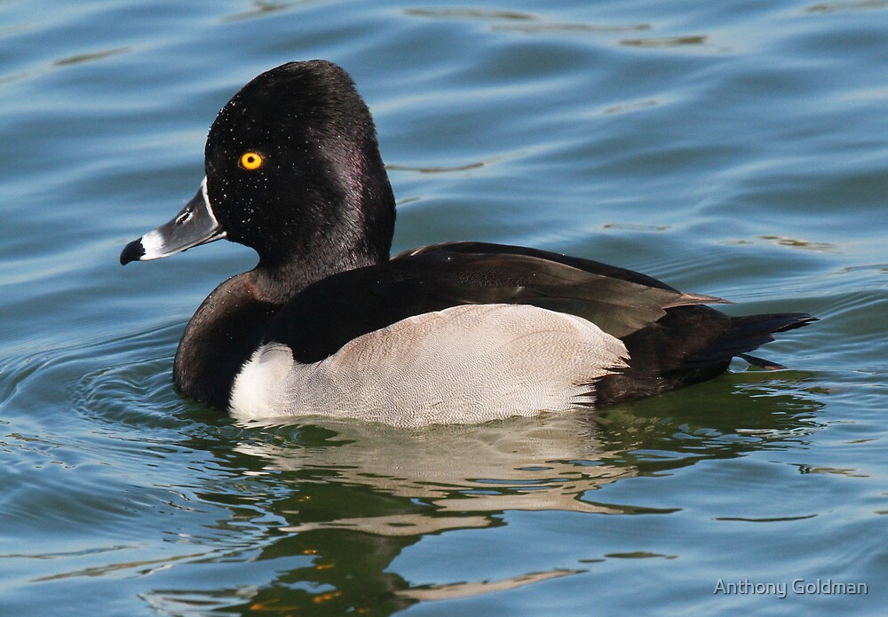Ringed Necked Duck by Anthony Goldman