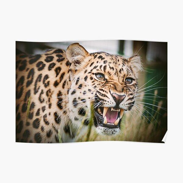Classic Big Cat Leopard Poster