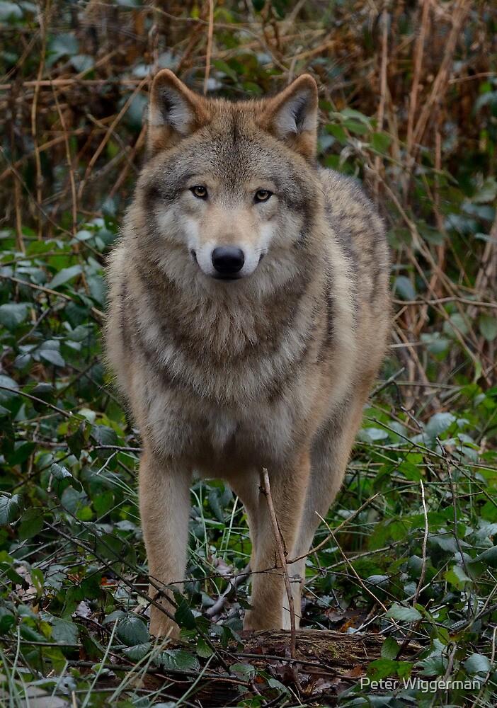 European wolve - II by Peter Wiggerman