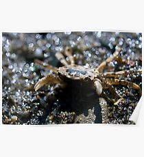 Crab close up macro photography crustacean tide pool wildlife photography color wall art fine art - Ehy tu Poster