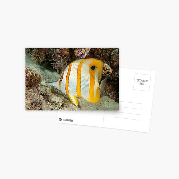 Beaked Coralfish, Kapalai, Sabah, Malaysia Postcard