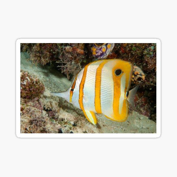 Beaked Coralfish, Kapalai, Sabah, Malaysia Sticker