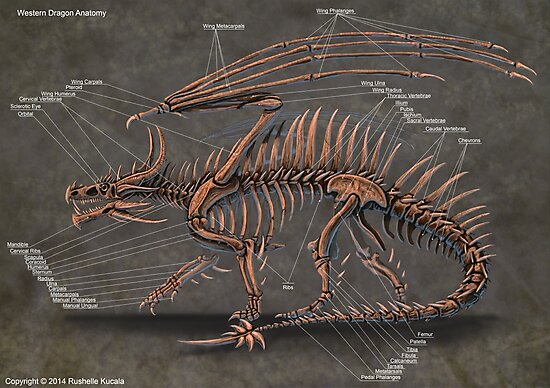 'Western Dragon Skeleton Anatomy' Photographic Print by Thedragonofdoom