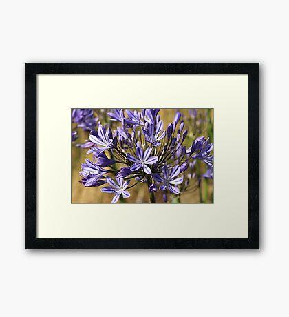flower-agapanthus-blue Framed Print