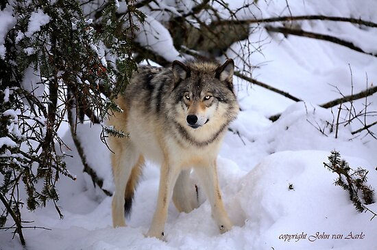 Canadian wildlife: Timber Wolf by John44