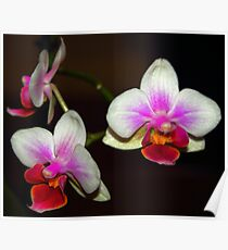 Colours of Orchid... Poster