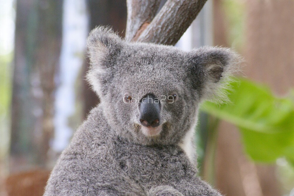 Koala Bear 1 by Gotcha29