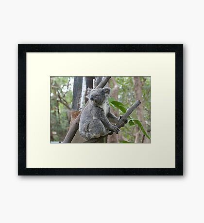 Koala Bear 4 Framed Print