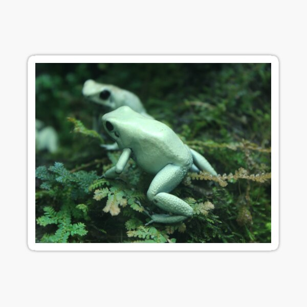 Green Frogs  Sticker