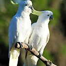 Sulphur Crested Cockatoos. Cedar Creek, Qld, Australia. by Ralph de Zilva