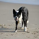 "Beach Dog ""Buddy"" by aussiebushstick"