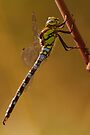 Southern Hawker by Neil Bygrave (NATURELENS)