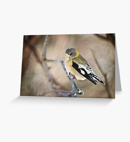 Female Evening Grosbeak Greeting Card