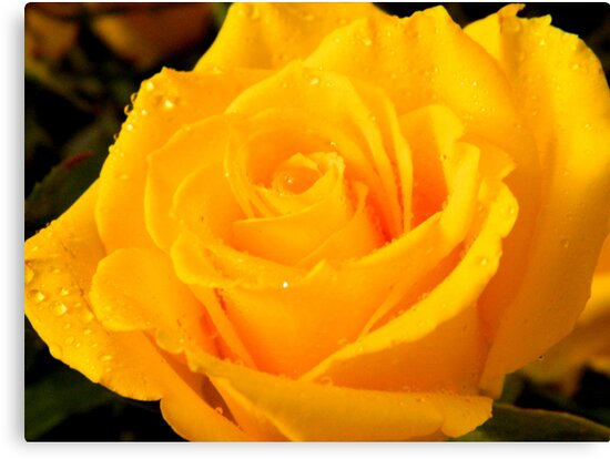 Yellow Rose of Texas     ^ by ctheworld
