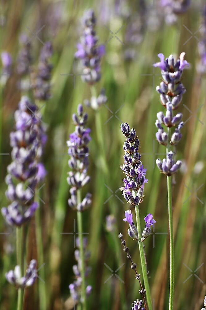 flower-Lavender-flora by Joy Watson