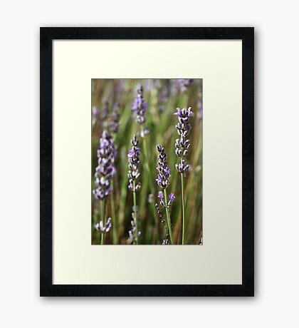 flower-Lavender-flora Framed Print