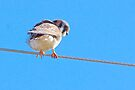 Female : American Kestrel, Falcon family by NatureGreeting Cards ©ccwri