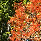 Flame Tree in bloom by John Quixley