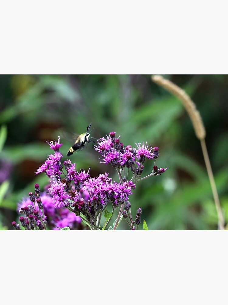 Snowberry Clearwing Moth on Ironweed by mark-bugs-org