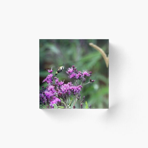 Snowberry Clearwing Moth on Ironweed Acrylic Block