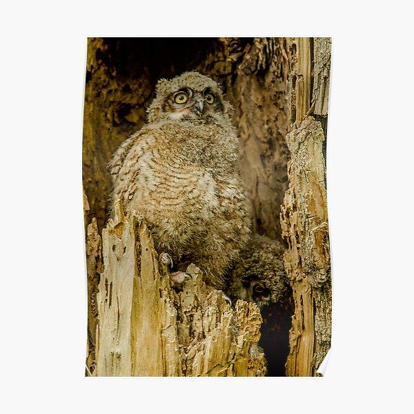 Baby Great Horned owl - Waiting For Dinner Poster