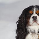 King Charles Cavalier by Chuck Zacharias