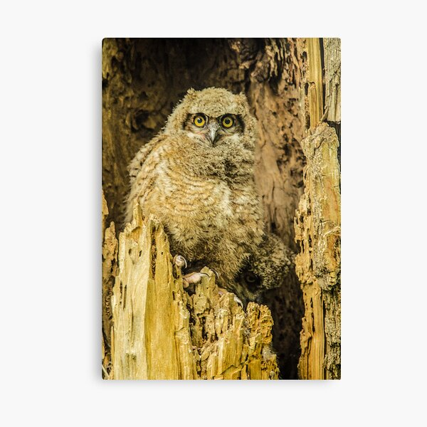Baby Great Horned Owl - The Stare Canvas Print