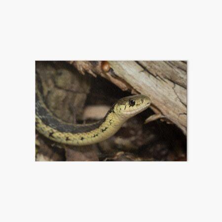 Eastern Garter Snake Art Board Print