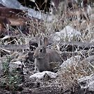 Feral Rabbit by antonio55