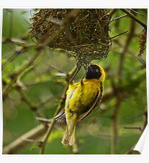 Weaver Bird Poster