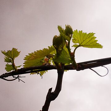 Budburst at Sinclair's Gully Norton Summit, South Australia by ChateauGlenunga