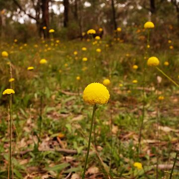 Yellow Button Flowers, Sinclairs Gully, Norton  Summit, Adelaide Hills by ChateauGlenunga