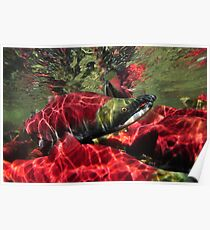 Sockeye Salmon Crowd Poster