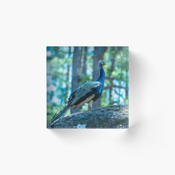 The ballad of the Peacock Acrylic Block