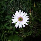 Cape Daisy Flower by Leyh
