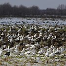 Snow Geese In The Snow by WildestArt