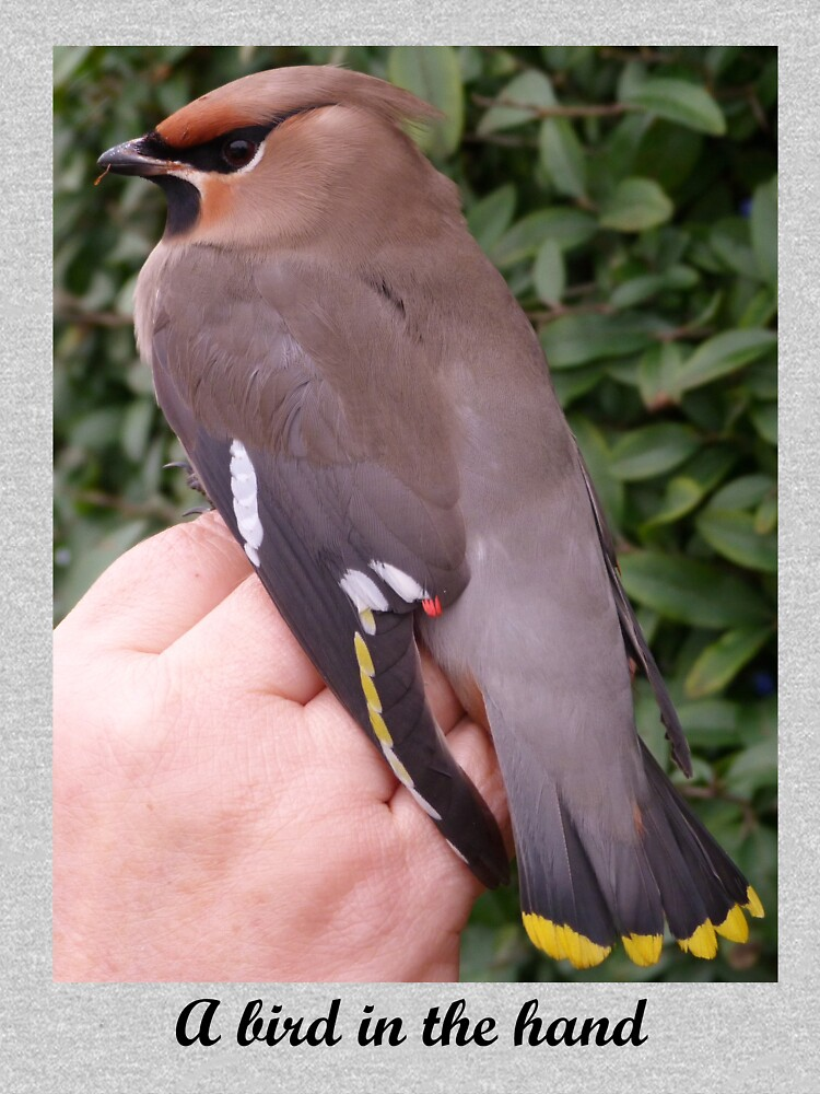 A bird in the hand (Waxwing) by Merlin13