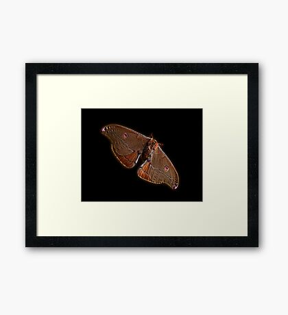 Emperor Gum Moth Framed Print