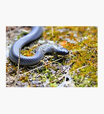 Small-eyed snake Photographic Print