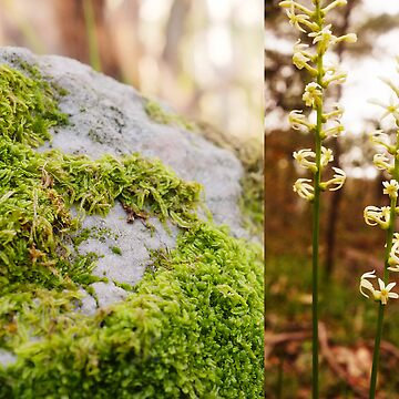 Moss rock and wild flower, Sinclair's Gully, Norton Summit, Adelaide Hills by ChateauGlenunga