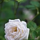 White Rose by PhotoJoJo