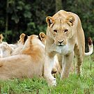 Lioness on the prowl by Jonathan Gazeley