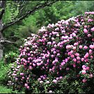 The Oak and the Rhodie Study No 4 by Wayne King