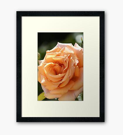 flower-orange-rose Framed Print