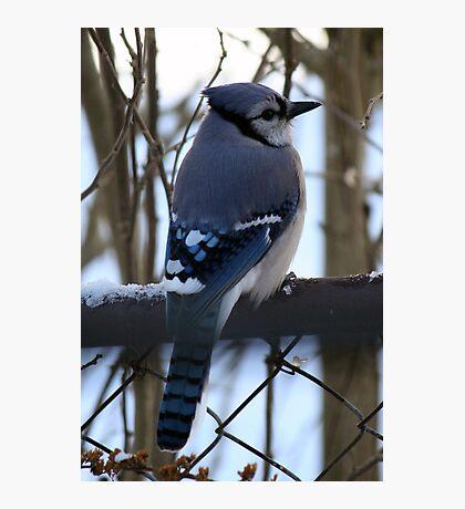 Bright Winter Blue Jay Photographic Print