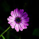 Shy daisy by Kim Austin