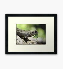 Lizard eating Framed Print