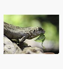 Lizard eating Photographic Print