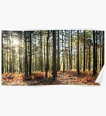 Sunlit Trees on the Ashdown Forest Poster